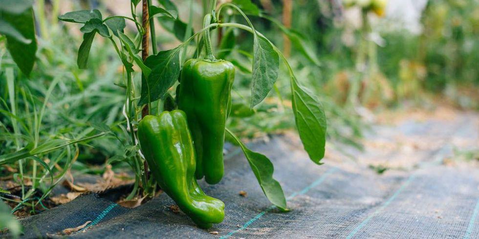Зеленый перец для греческого салата с оливками