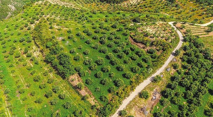 Приручение дикой оливы