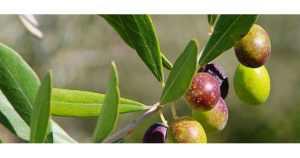 Надрізані Селянські оливки з кісточкою в морській солі 560г с.в. Jumbo 181-200 вак.у. 70501
