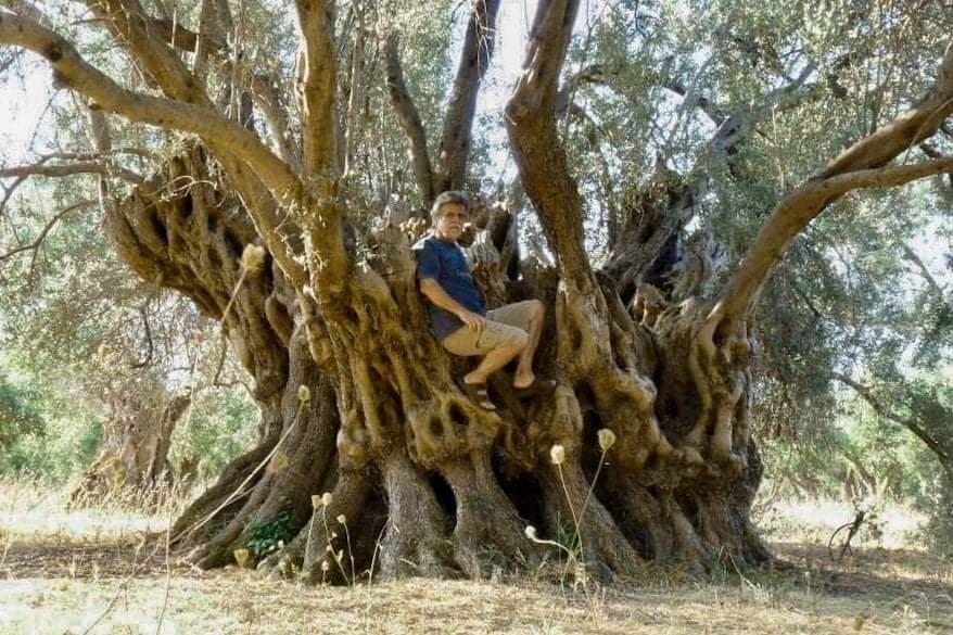 Растут  оливки и спустя 2500 лет сгорают