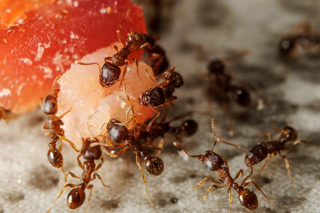 Get Rid Of Ants In Bedroom Functionalities Net How To Permanently Sprinkle Borax On Ant Hills Getting