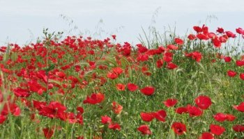 Opium poppies for homegrown pain medication how to get started can consuming poppy seeds alter drug test results mightylinksfo Images