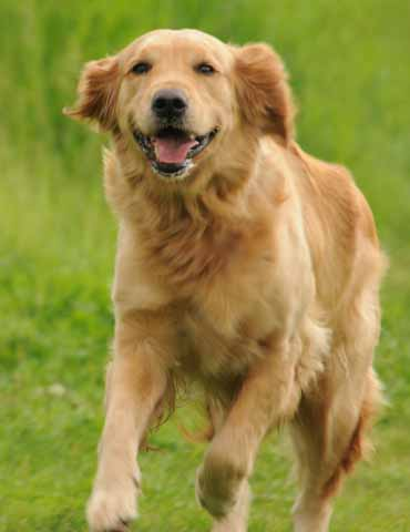 Allergies in dogs -- Atopy