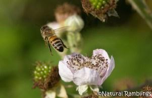 Bee-on-brambles nr