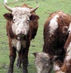 cattlebad