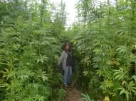 hemp-crop-marijuanna-pot