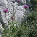 Die Mariendistel ist eine ideale Pflanze für die Leber