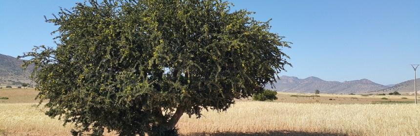 Arganbaum - der vielleicht älteste Baum der Welt