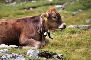 Colostrum - wie Kühe bei Problemen im Intimbereich helfen können
