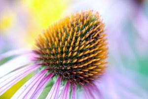 Echinacea stärkt unser Immunsystem