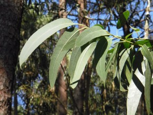 Eucalyptus für die gesunde Nasenschleimhaut