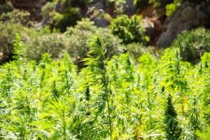 Hanf - eine Pflanze, die viel mehr als Cannabidiol enthält