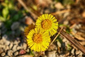 Huflattich die ideale Heilpflanze für die Lunge