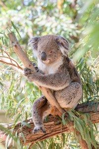 Eukalyptus - nicht nur gut für den Koala, sondern auch unsere Lunge