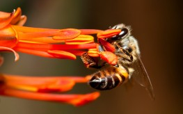 bee pesticides epa 263x164 Insanity: US Approves Bee Death Pesticide as EU Bans It