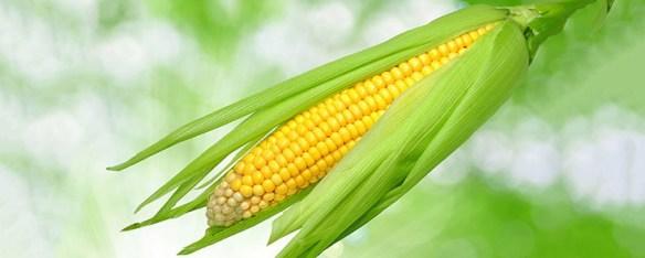 corn-bright-735-295