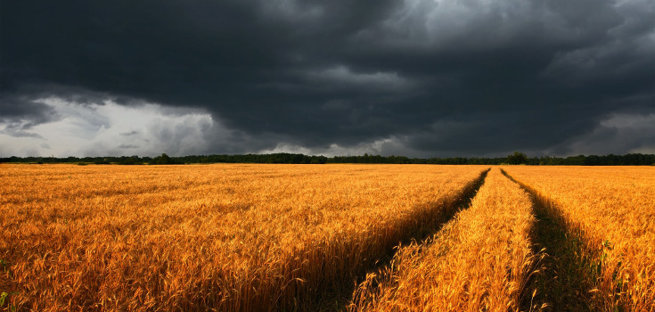 field_wheat_dark_735_350