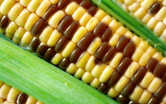 Huge China Refused 887000 Tonnes Of US GMO Corn