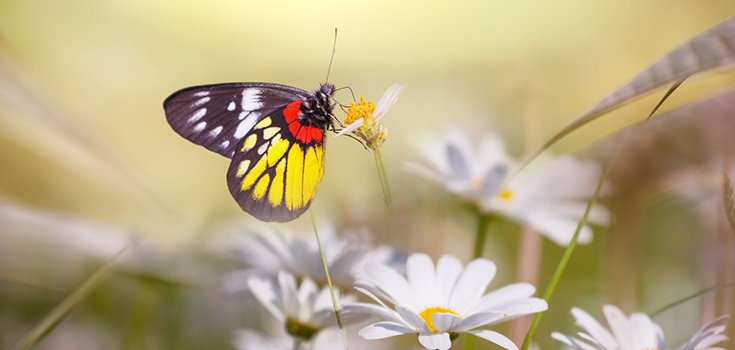 insect-butterfly-flower-735-350