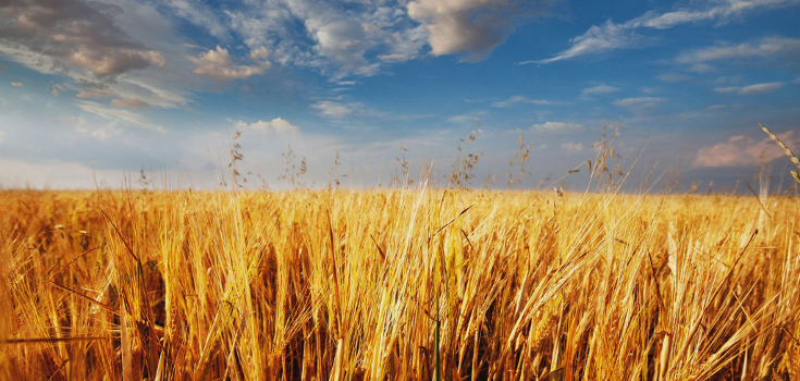 Feds Still Have No Idea How Illegal GM Wheat Got Into This