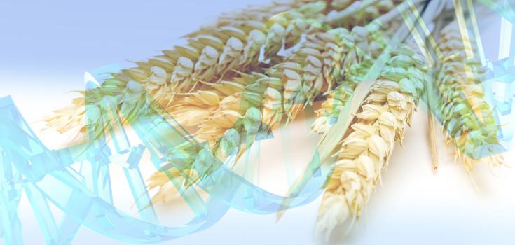 wheats_dna-gmo-735_350