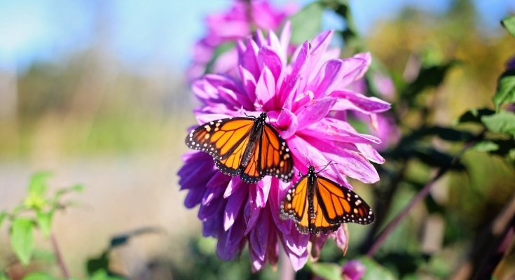 Eastern Monarch Butterfly has several population issues