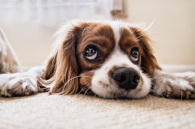 Registered Emotional Support Animals Dogs Anxiety Coach