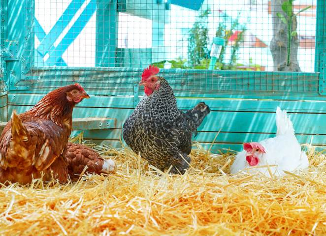 Easiest chickens to raise