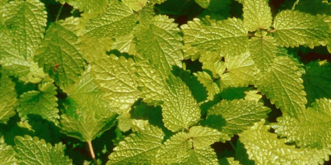 How to Enjoy Awesome Lemon Balm Benefits_Repel Mosquitoes