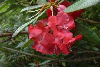 Rhododendron neriiflorum subsp. neriiflorum