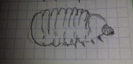 larva Vesperus Xatarti