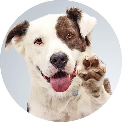 Quante volte al giorno deve mangiare un cane adulto?