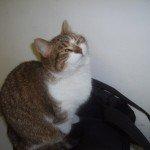 Врятована волонтерами кішка Муруся