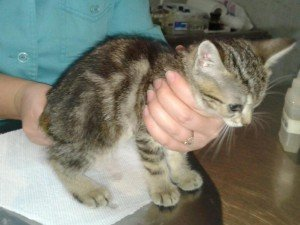 Врятоване кошенятко Боб
