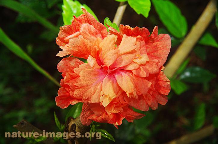 Orange Hibiscus Flower Nature Imagesorg