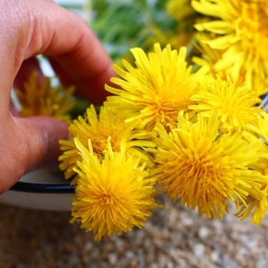 cueillir les fleurs de pissenlit