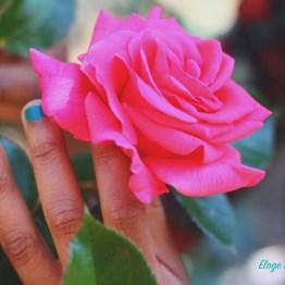 La Rose, pour Cultiver l'Amour de Soi...