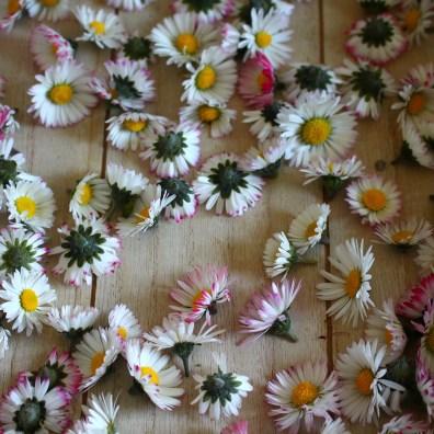 Séchage fleurs de pâquerettes
