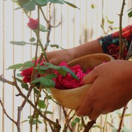 Cueillette de roses au Jardin