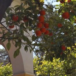 Orangers à Séville