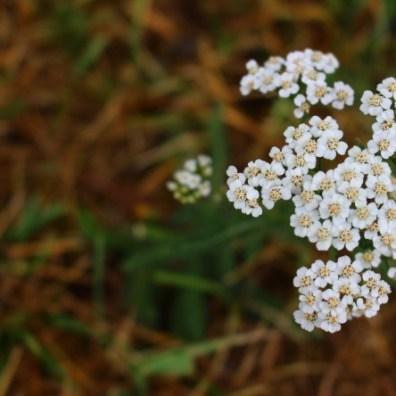 plante acné - achilée