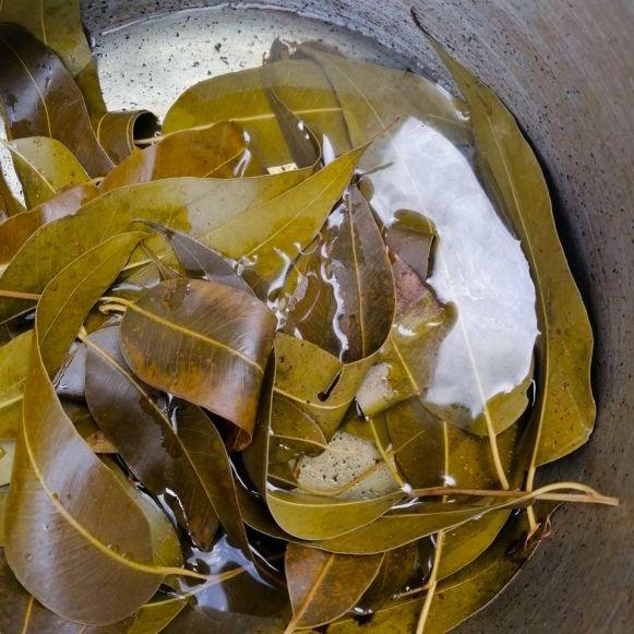 décoction d'eucalyptus