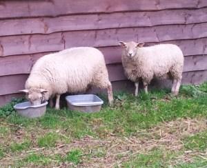 Les agneaux sont devenus moutons