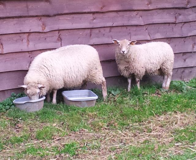 Nos agneaux en pâture
