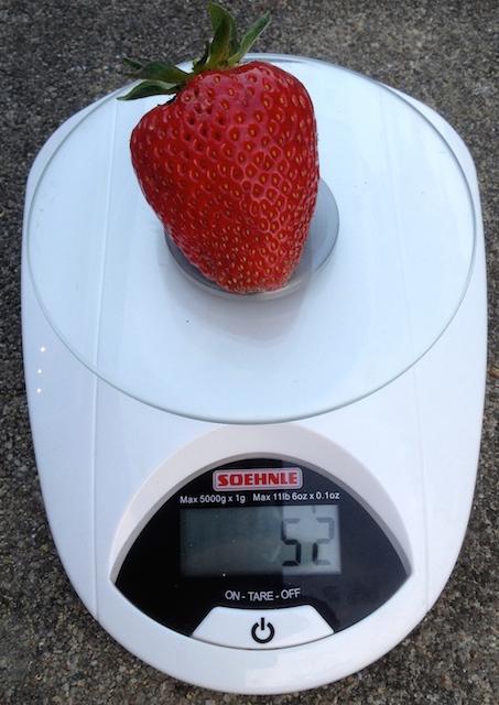 La plus grosse fraise récoltée pesait 52 gr...