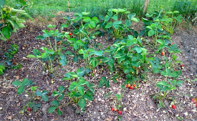 Nos fraisiers sont plantés entre les arbres fruitiers