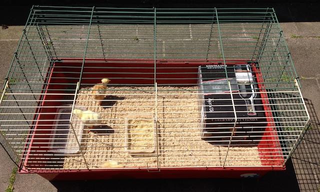 Poussins : seconde cage