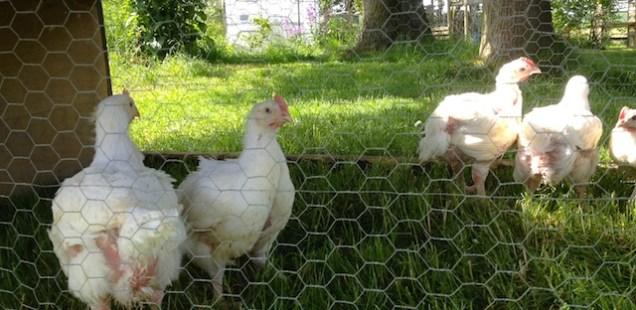 Poulets Hybro dans un enclos mobile
