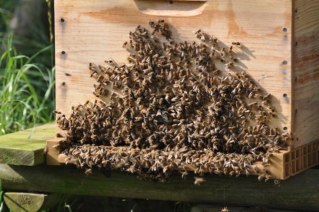 Les abeilles prennent l'air, trop chaud dans la ruche...