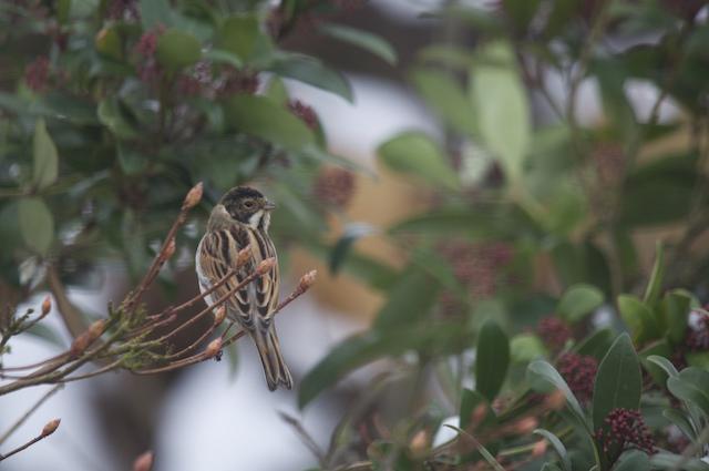 Bruant des roseaux (male)